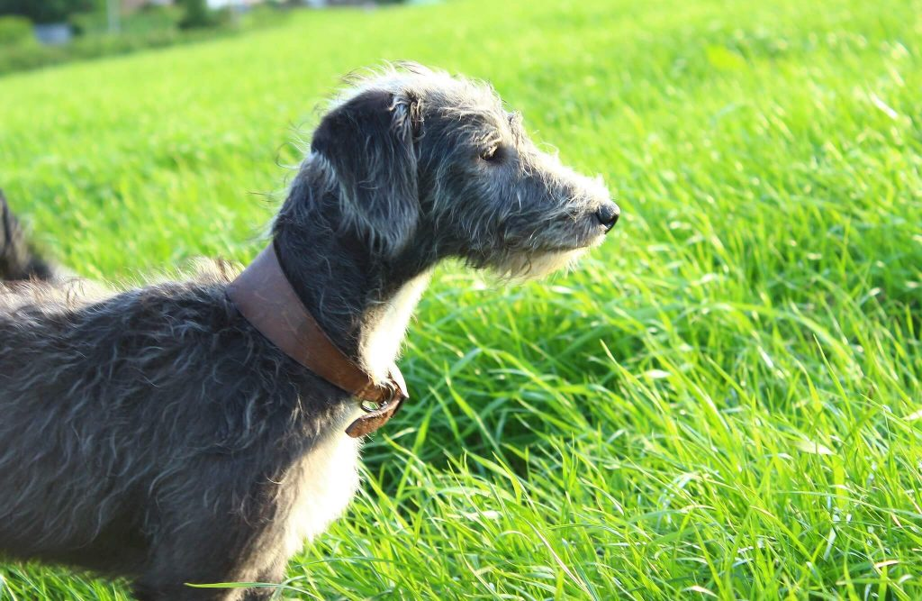 what is a bedlington whippet?