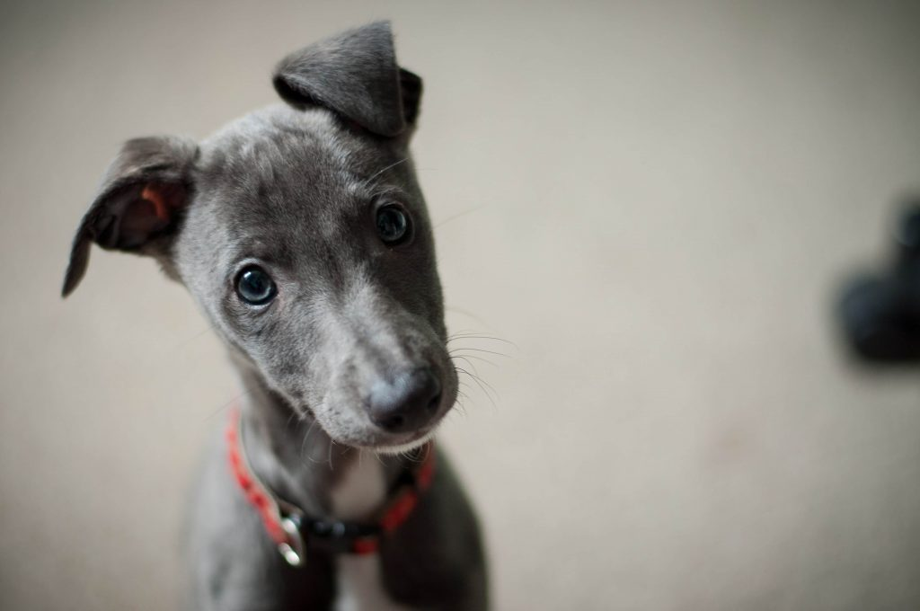21 reasons why whippets are simply the best dogs
