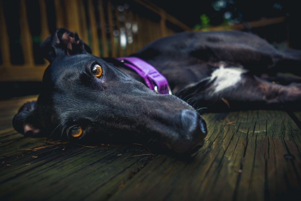 is a whippet a greyhound?