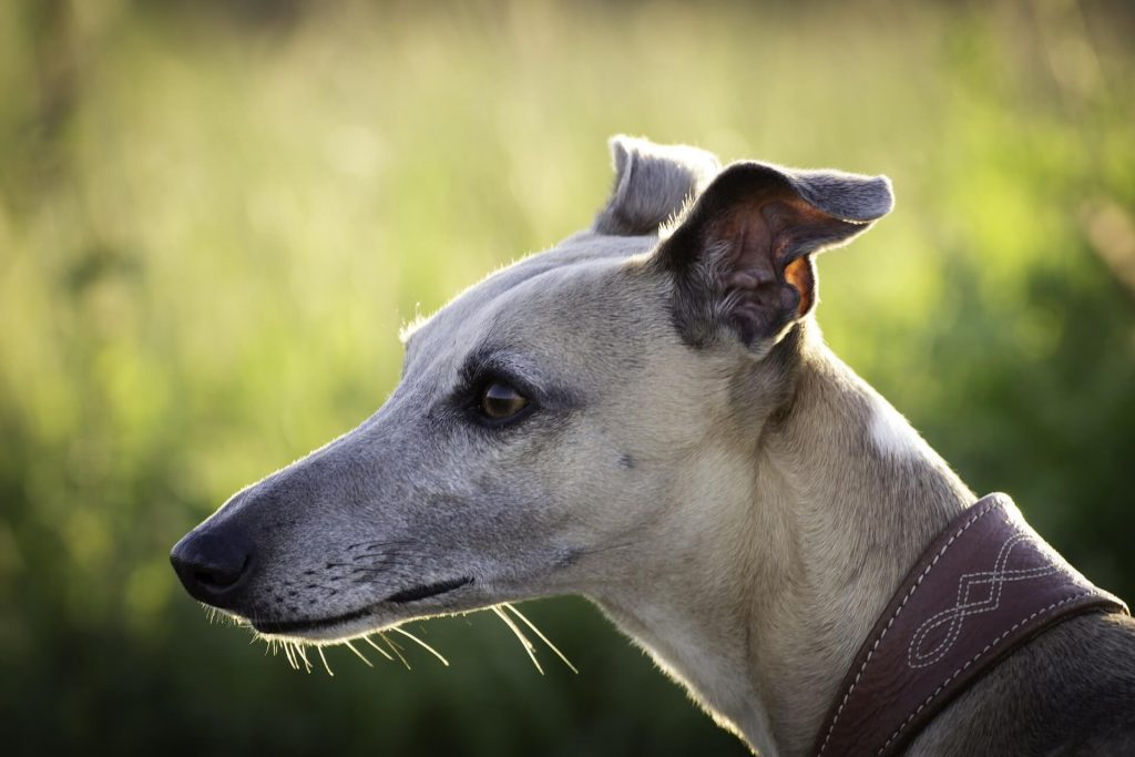 is a whippet easy to train?