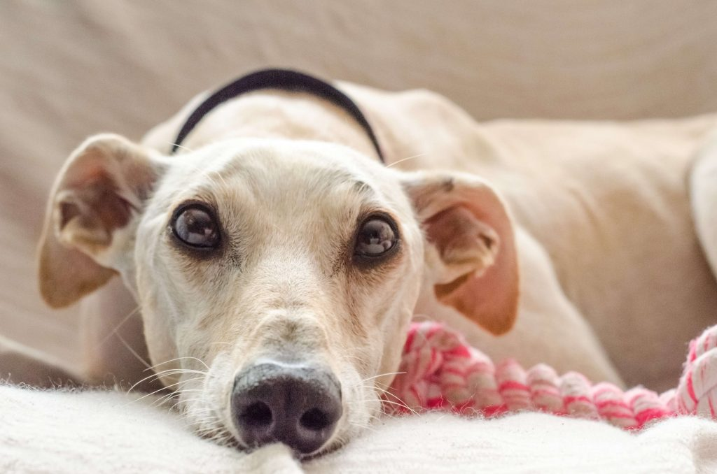 what is a whippet cross greyhound?