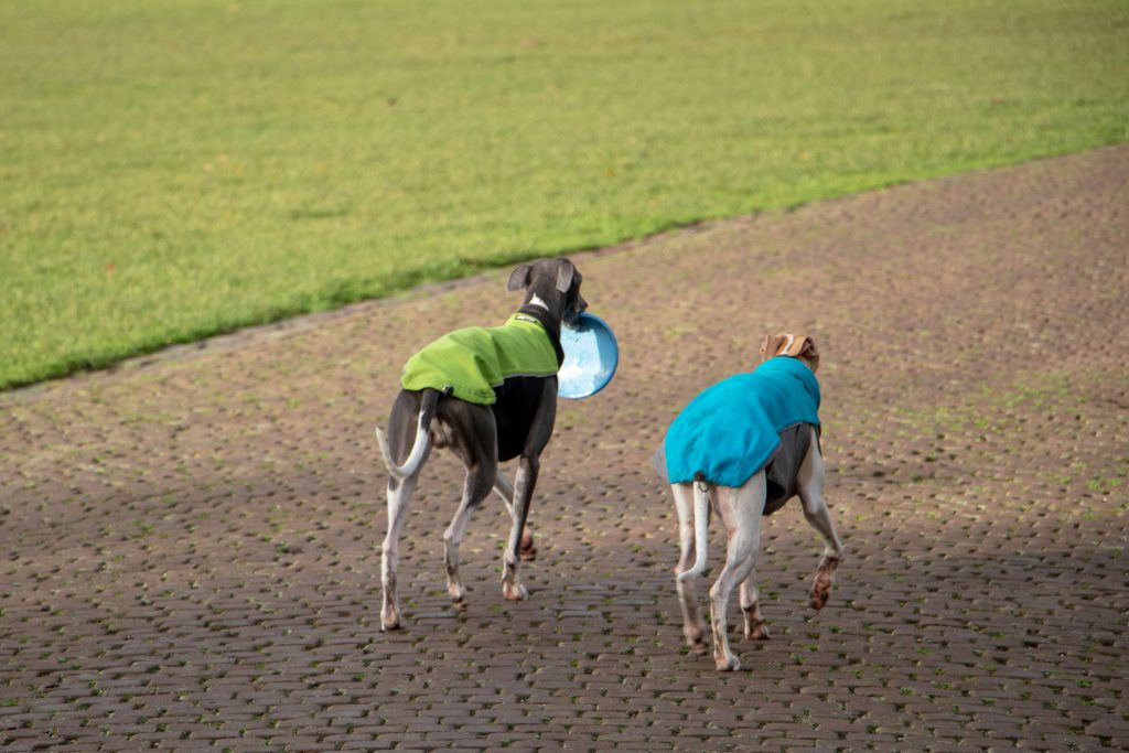 why are whippets so fast?