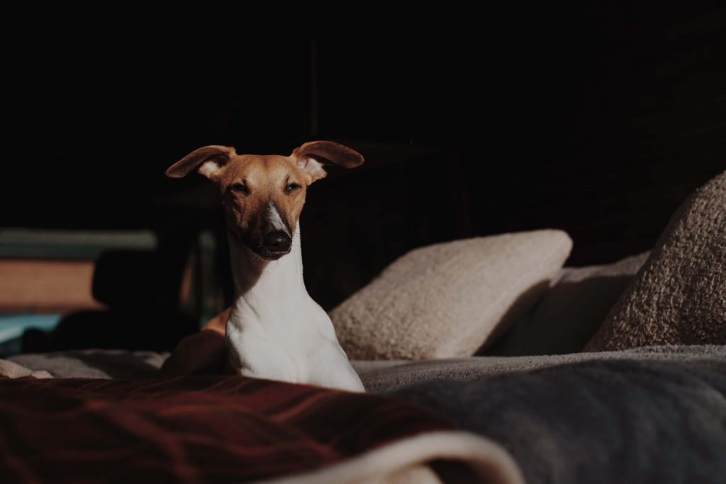 how much does a whippet cost?