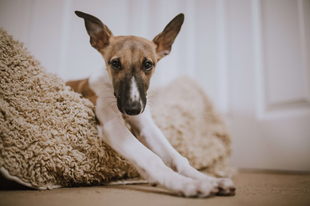 is a whippet a good apartment dog?