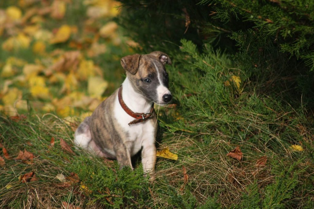 when is a whippet fully grown?