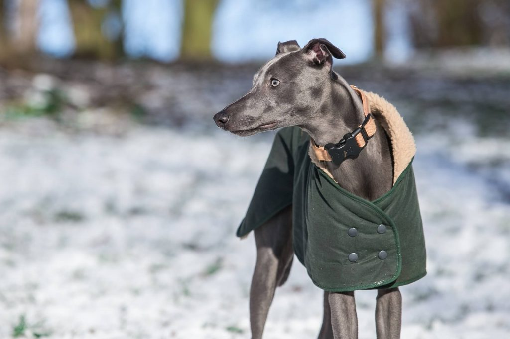 is a whippet a good first dog?