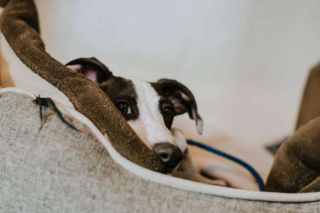 is a whippet faster than a greyhound?
