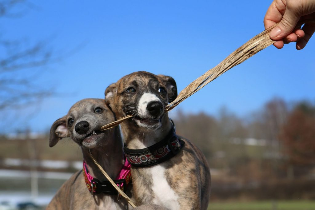 are whippets smart dogs?