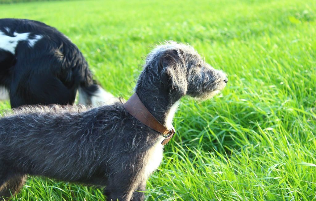 how fast is a bedlington whippet?