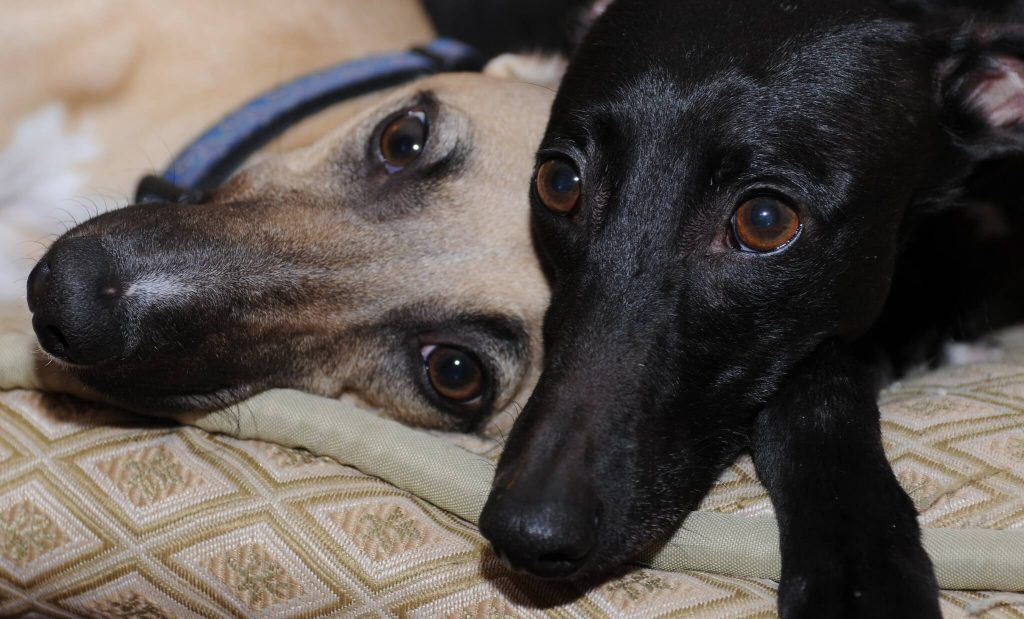 are whippets dangerous dogs?