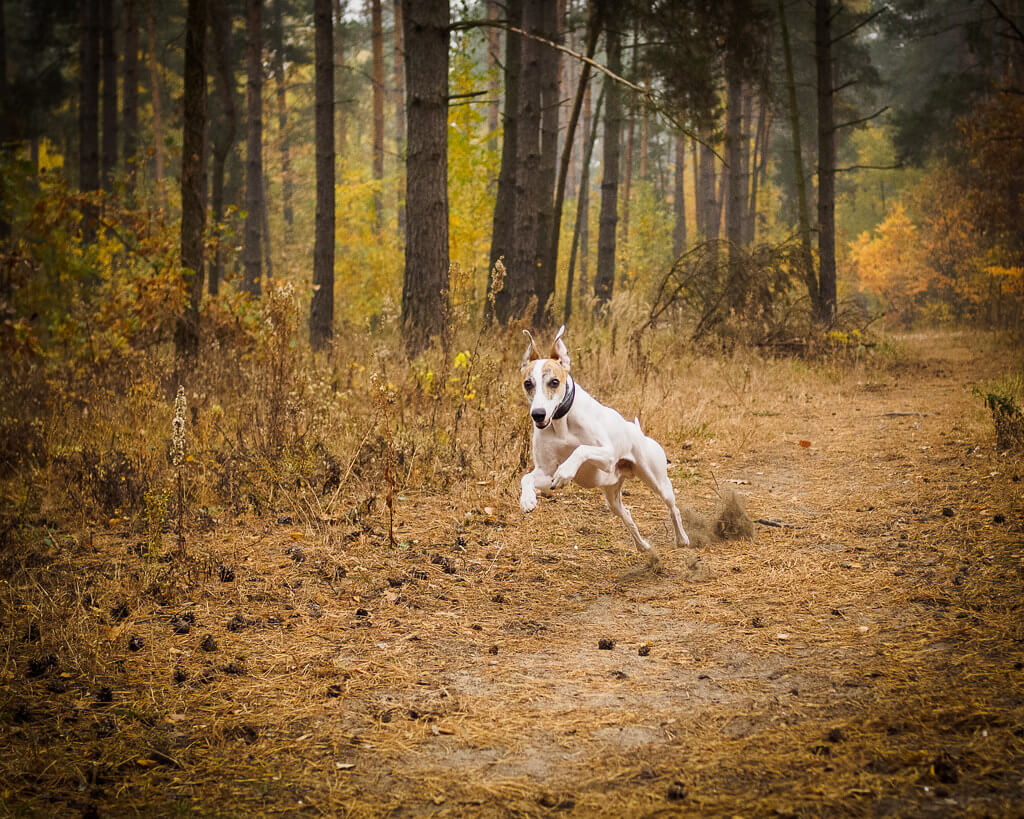 is a whippet a hunting dog?