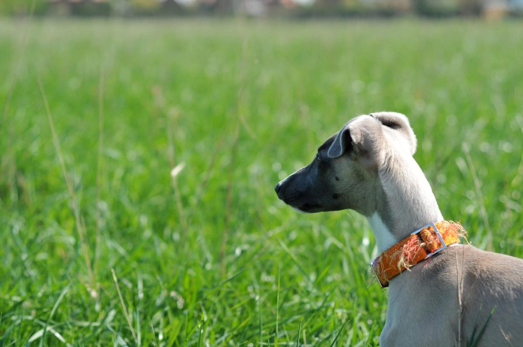 can a whippet get along with cats?