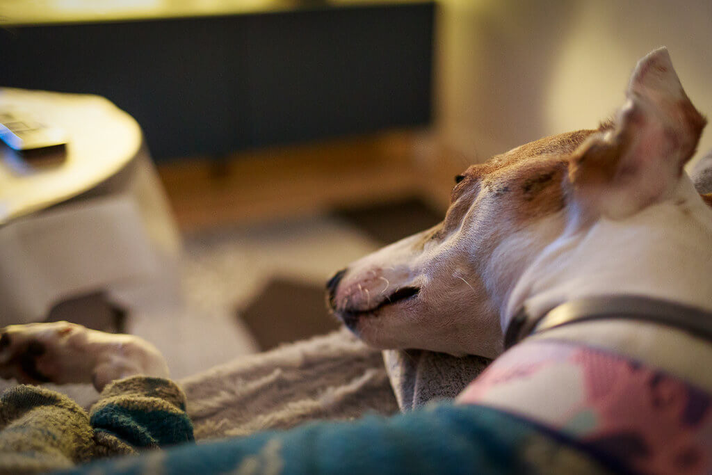 can a whippet be left alone?