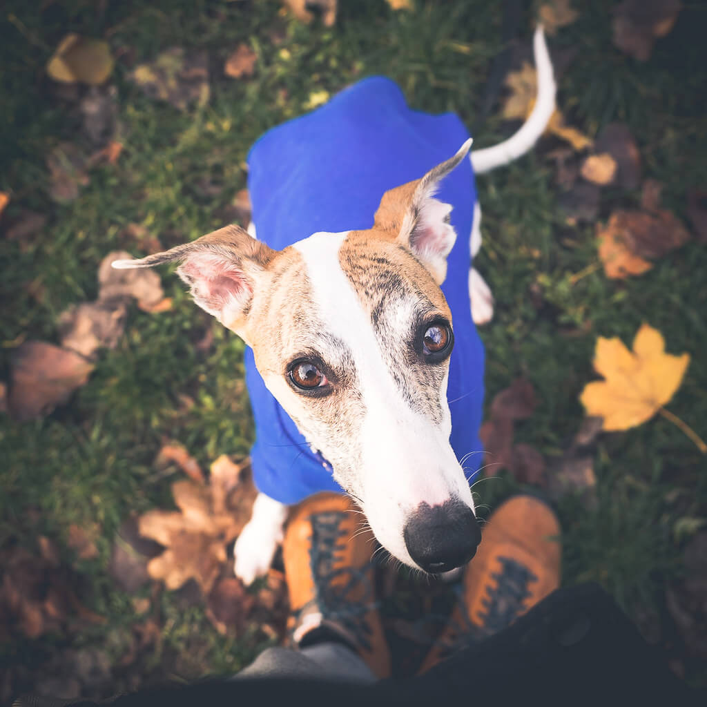 how much exercise does a whippet need?