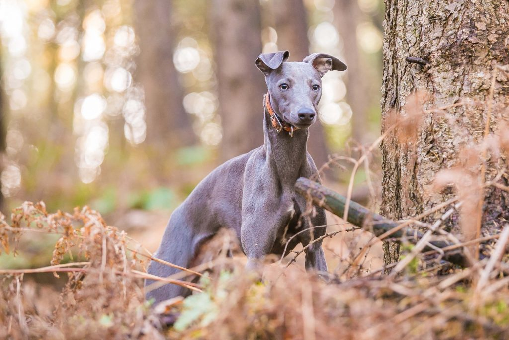 how to train a whippet to hunt rabbits