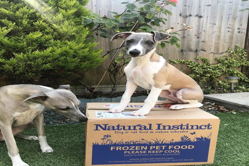how to take care of your whippet puppy