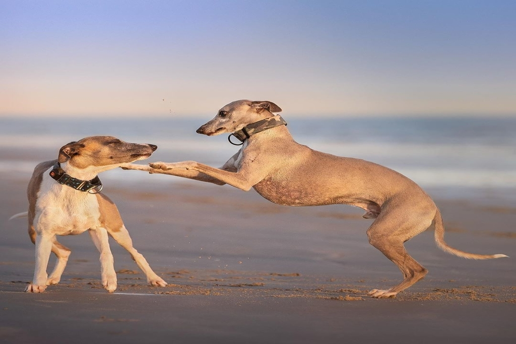 the importance of socialising your whippet
