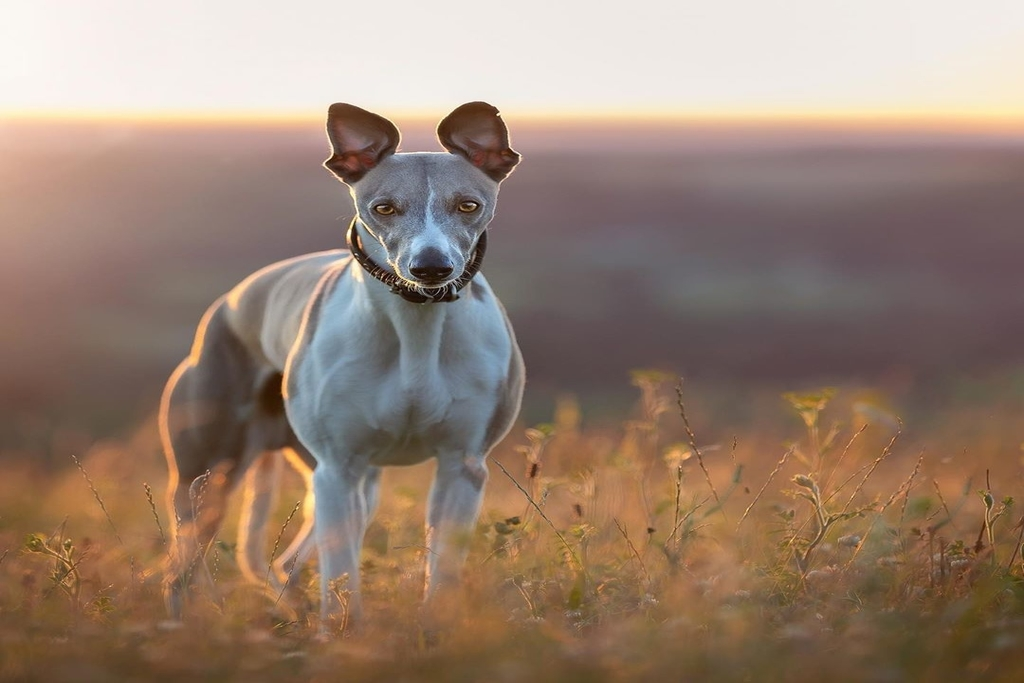 how big do whippets get?