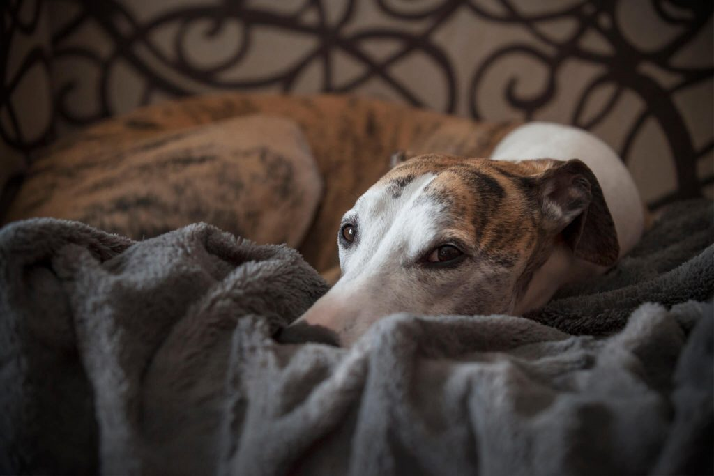 why do whippets sleep so much?