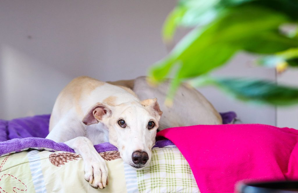 7 best dog beds for whippets