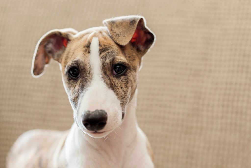 when will my whippet puppy stop teething?