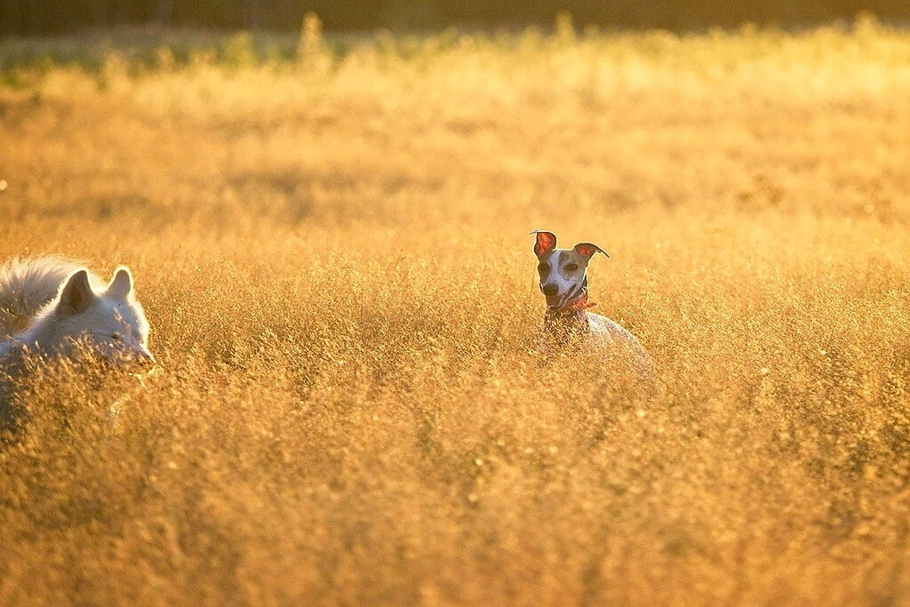 can whippets live outside?