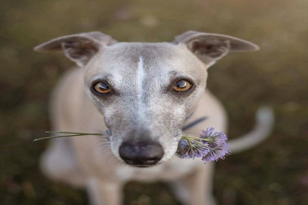 do whippets fart a lot?