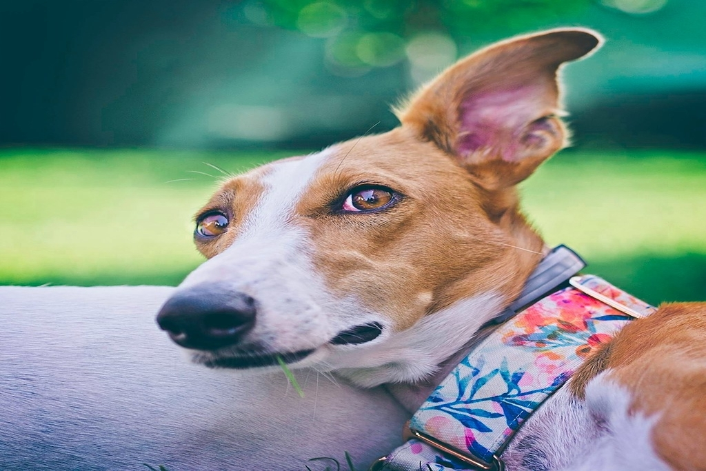 best dog collars for whippets