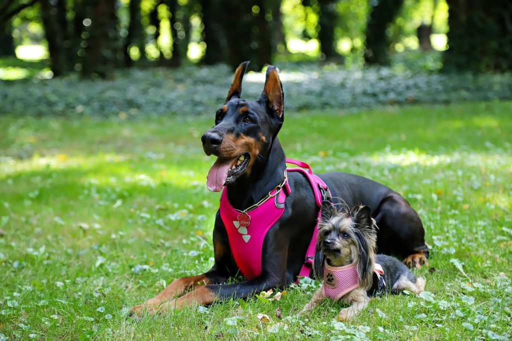 can whippets wear a harness?