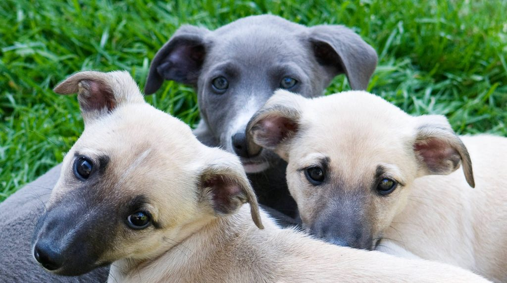 when can whippet puppies go outside