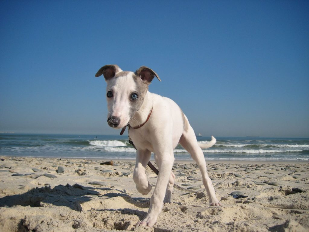why do whippets shake?