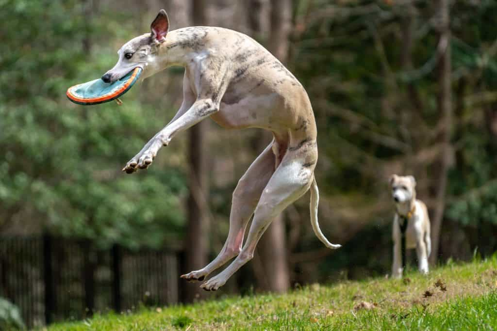 best dog toys for whippets