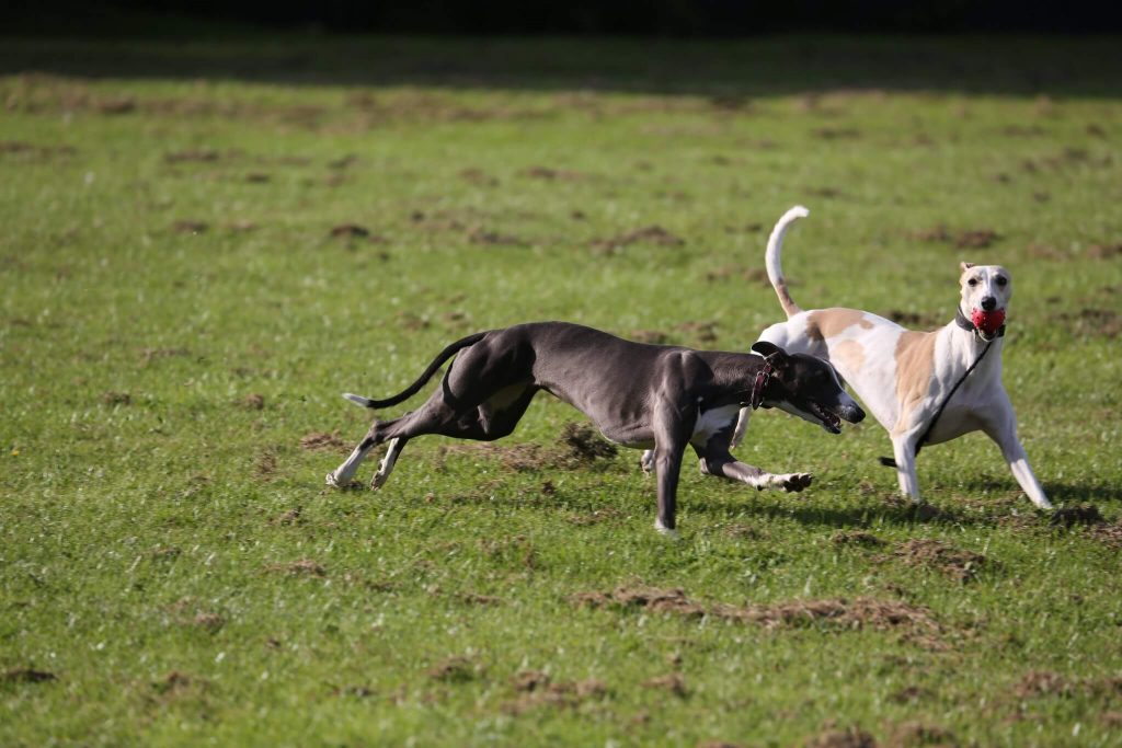 do whippets like to play?