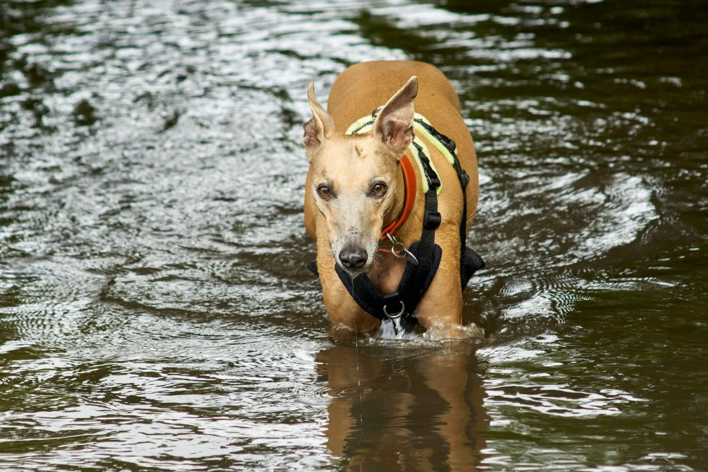 do whippets like swimming