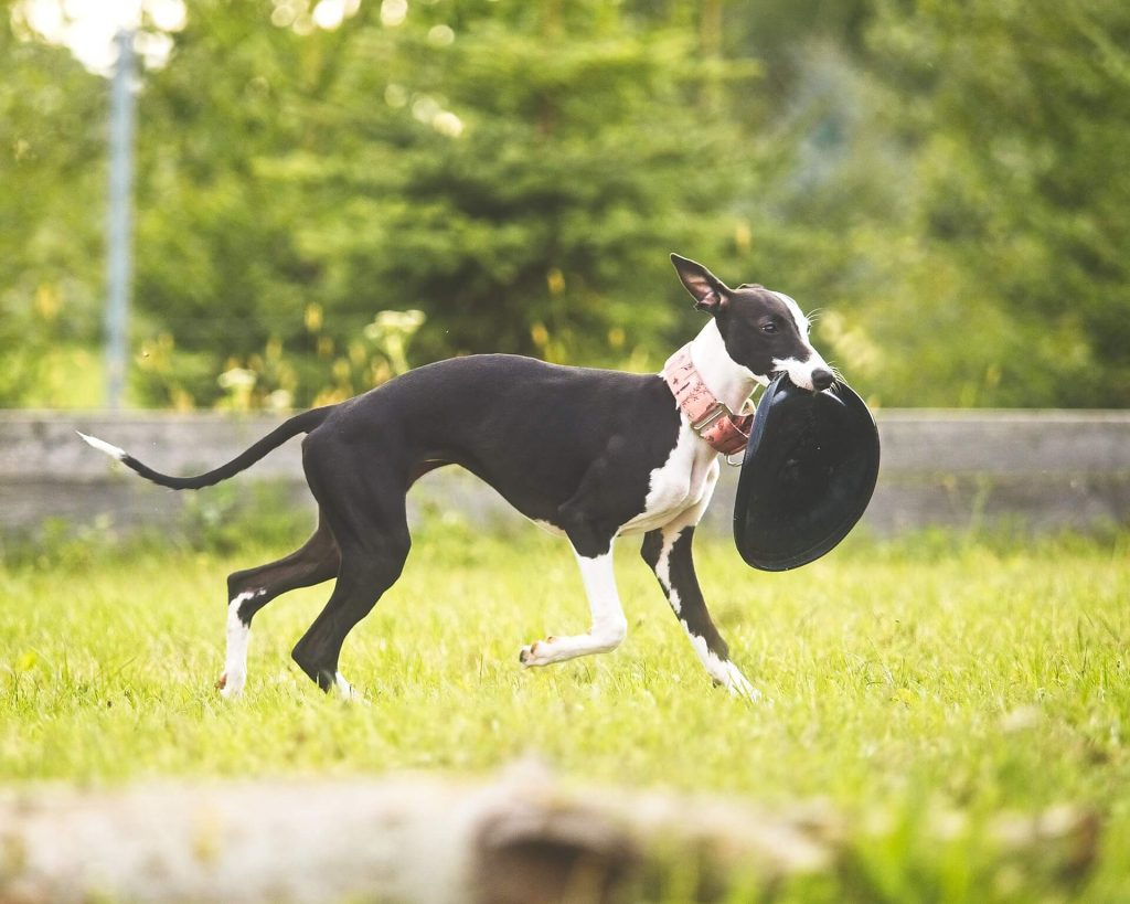 is a whippet a sighthound?