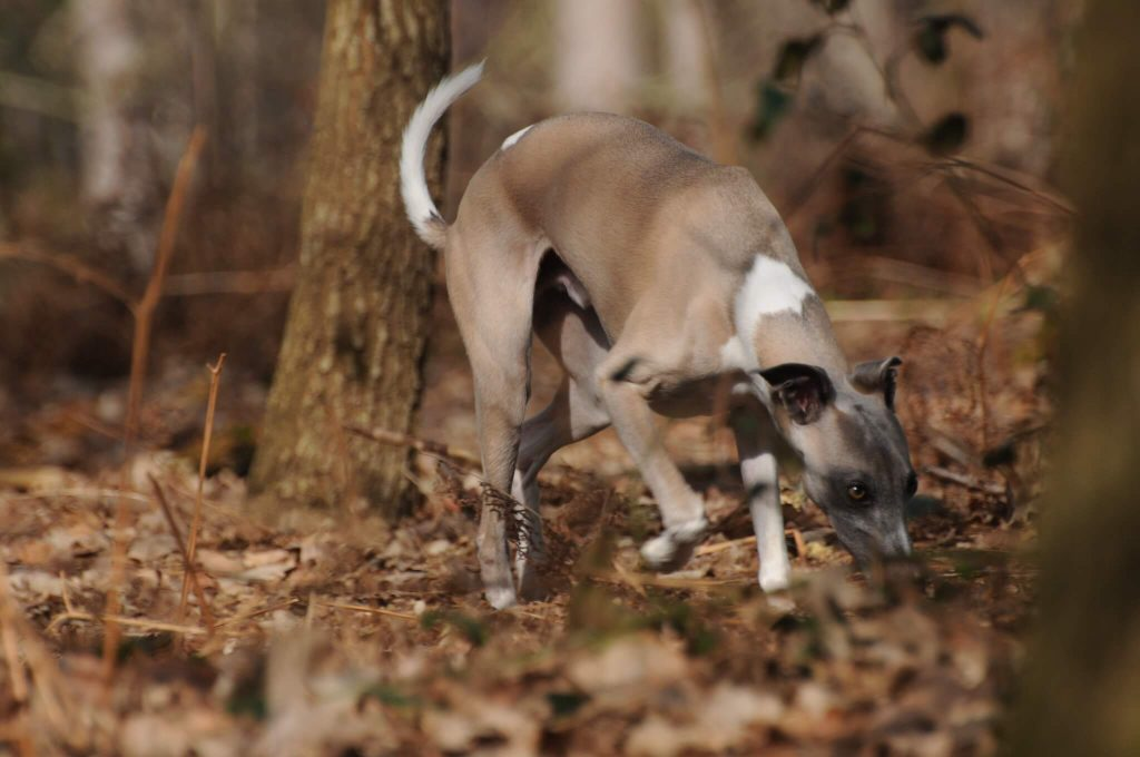 are whippets hypoallergenic dogs?