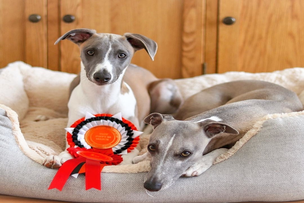 how high can whippets jump?
