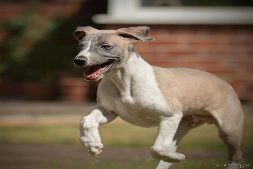 why pet insurance is important for your whippet