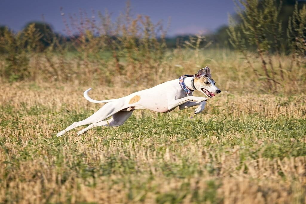 is a whippet a sighthound