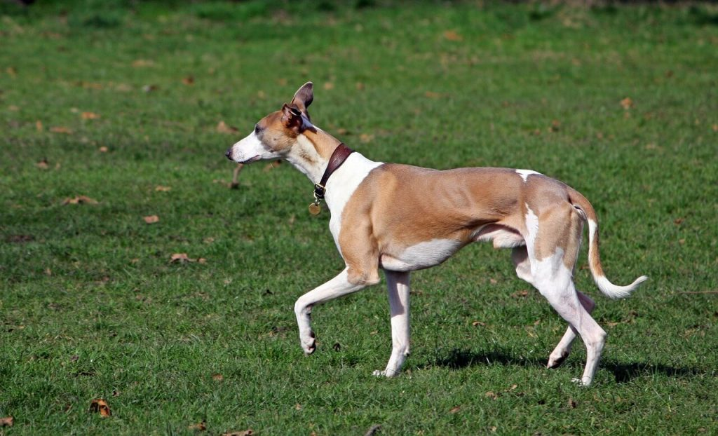 is my whippet underweight?