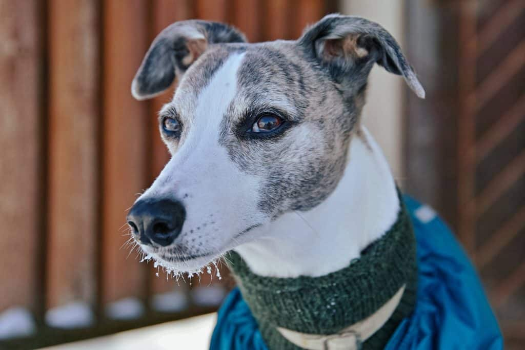 are whippets expensive dogs?