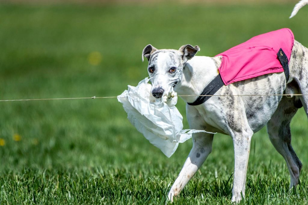 are whippets greedy dogs?
