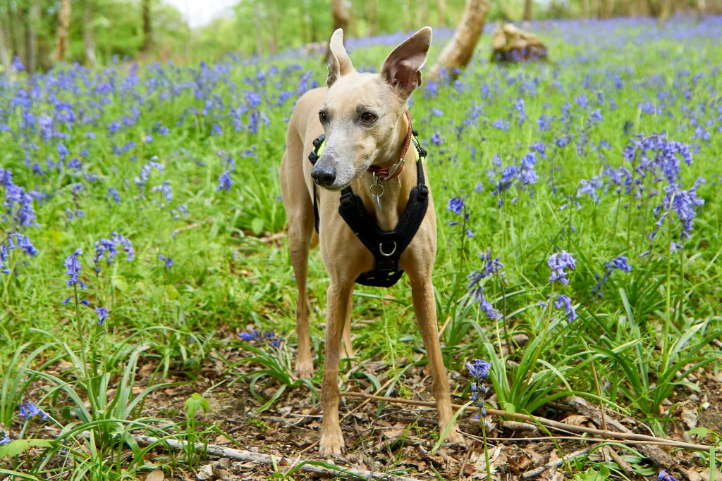 is your whippet panting too much?
