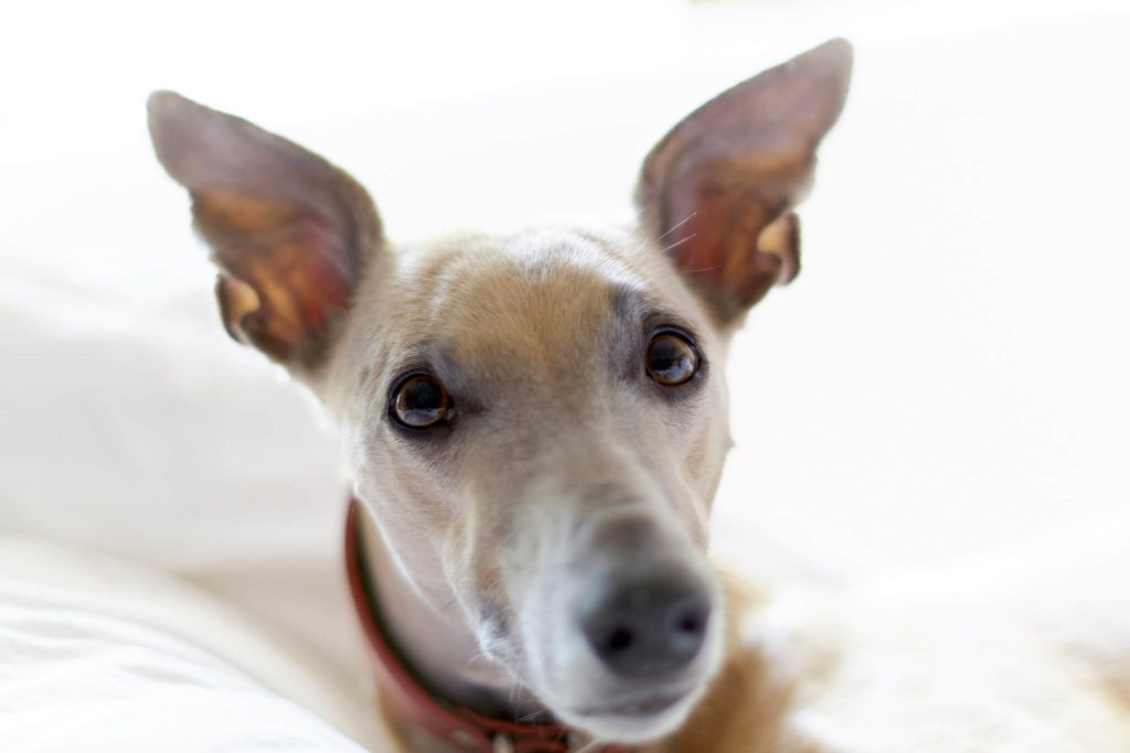 do whippets get depressed?