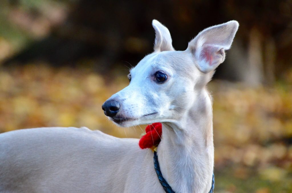 are whippets good racing dogs?