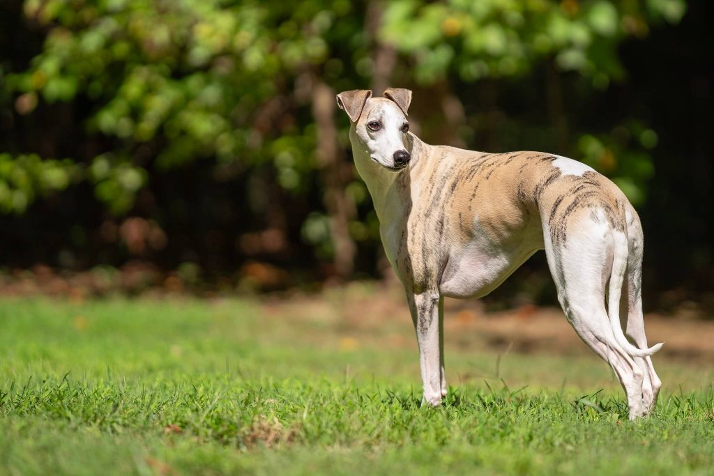 why are whippets so skinny?