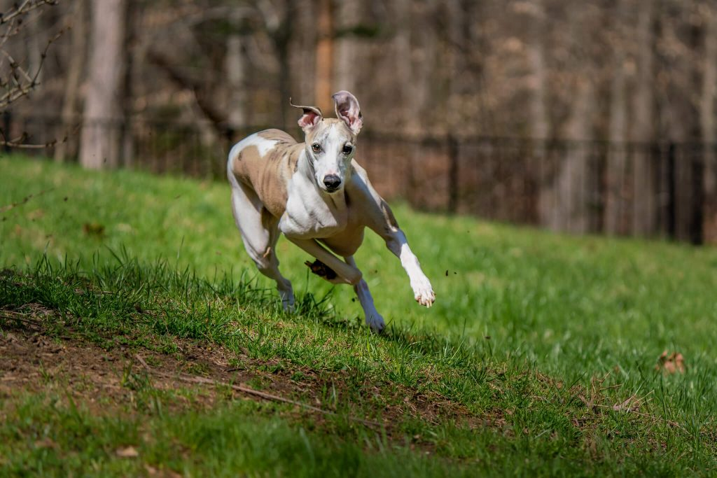 how long do whippets live?