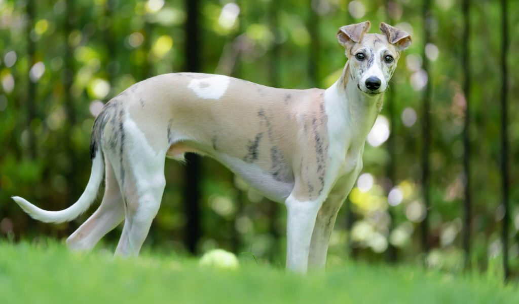 can whippets eat raw meat?