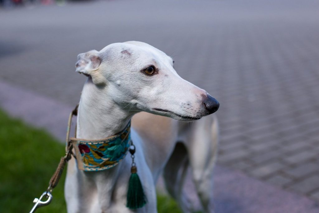 can whippets do agility?