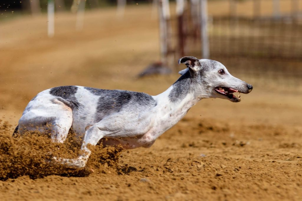 whippet vs greyhound: whats the difference